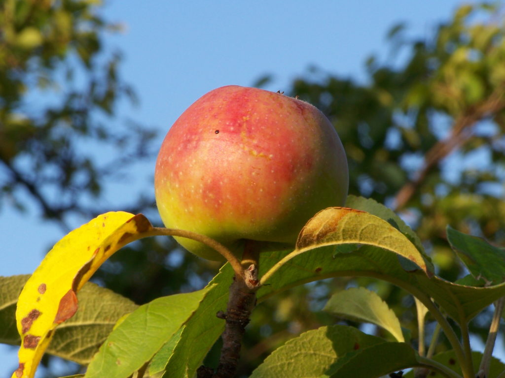 Jabłko naturalnie dla zdrowia